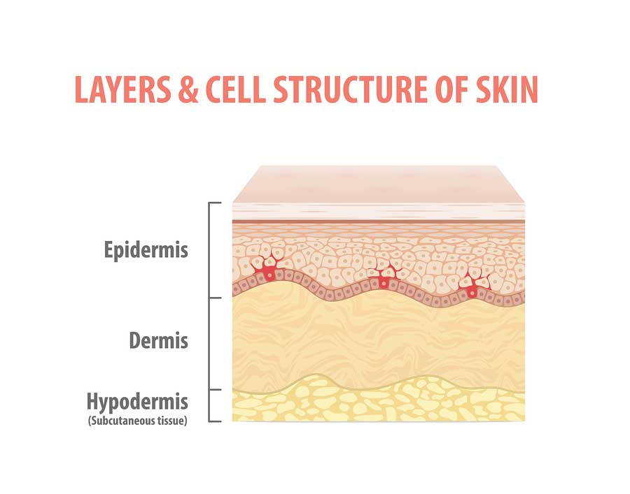 Layers and Cell Structure of skin